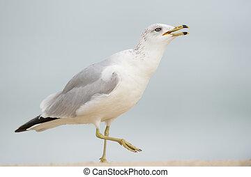Calling Ring-billed Gull