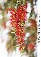 callistemon bottlebrush flower at summer