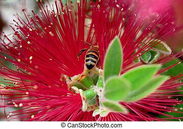 Callistemon (brush) with bee above