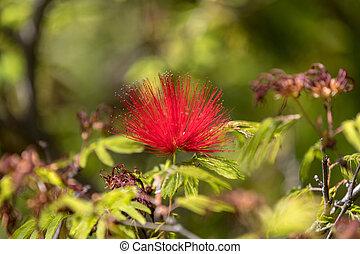 Callistemon citrinus bottle brush red flower in garden