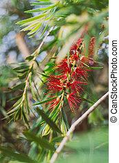 callistemon, extérieur, plante, rouges, indigène, ensoleillé, australien, arrière-cour, bottlebrush