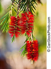 callistemon flower - Callistemon family Myrtaceae, widely ...
