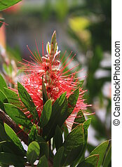 Callistemon or bottle brush flower. Close-up of red needle-like flower on the green shrub in yearly spring.