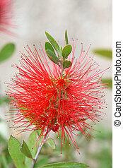 callistemon red flower stamens - Callistemon bottlebrush ...