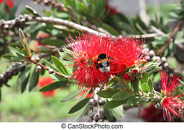 Callistemon tree - Tree with red flowers and bees on them