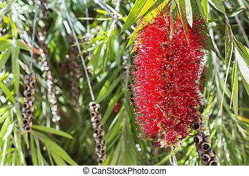 callistemon, vimidinalis, a, 裝飾, 灌木, 在, the, 家庭, myrtaceae