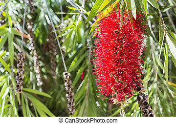 Callistemon vimidinalis, a ornamental shrub in the family ...