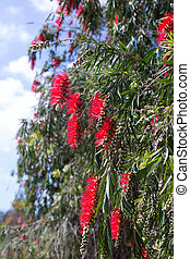 Callistemon viminalis in spring - Callistemon viminalis (...