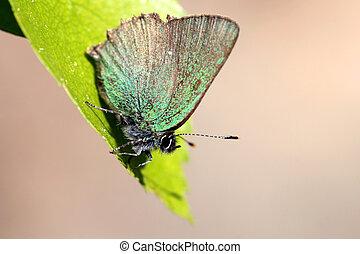 Callophrys rubi (Green Hairstreak) Butterfly on a leaf
