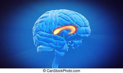 callosum, mózg, ciało, część, -