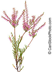 Calluna vulgaris flower isolated on white background