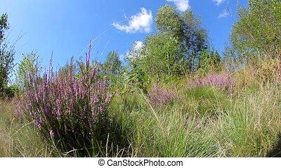 calluna, vulgaris, (heather), buisson, s'agiter, vent
