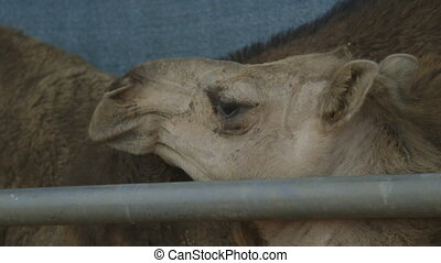 Calm camels inside a farm cage, Northern Territory -...