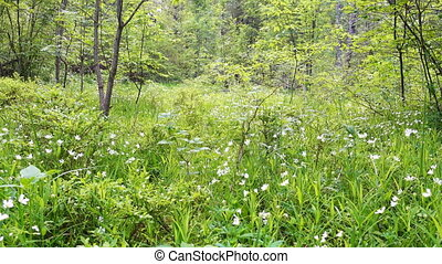 Calm morning in forest glade. Wild forest at beautiful...