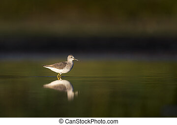 Calm Morning Wading Bird - A Lesser Yellowlegs stands in...