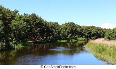 Calm river in the pine forest