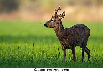 Calm roe deer buck with new antlers grazing on meadow in tranquil spring nature