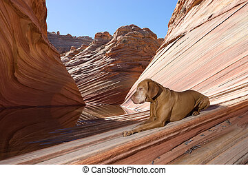 calm vizsla dog laying on the ground in the wave in coyote butte arizona