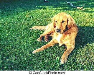 calma, perro cobrador dorado, perro, yacer césped, en, soleado, verano, day.