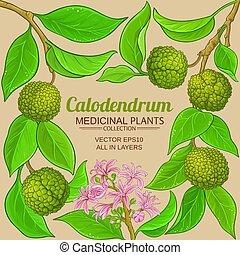 calodendrum, vektor, keret