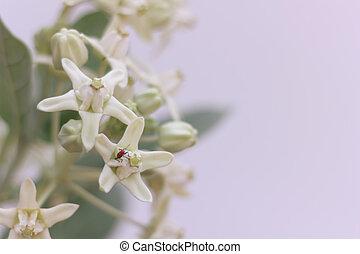 Calotropis gigantea (Linn.) R.Br.ex Ait.)