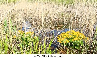Caltha palustris growing in swamp during flooding in early...