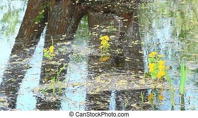 Caltha palustris growing in swamp. Spring flowers. Marsh...