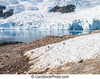 calving, gentoo, baía geleira, península, porto, andvord, arctowski, antártica, pingüins, neko