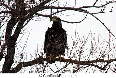 calvo, eagle., foto, levado, em, abaixar, klamath, refúgio...