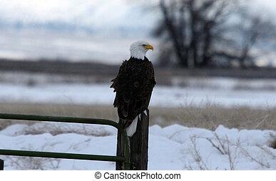 calvo, eagle., foto, levado, em, abaixar, klamath, refúgio nacional fauna, ca.