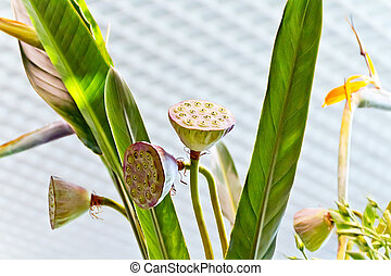 Calyxes of seed pod of lotus flower