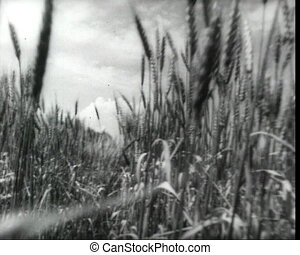 Cam passing through the rye ears, vintage b&w 16mm footage.