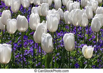 cama, de, blanco, tulipanes