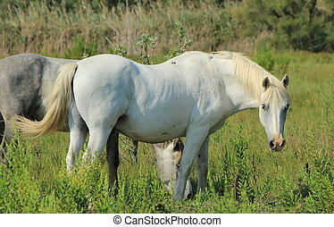 Camargue horses in a meadow, France