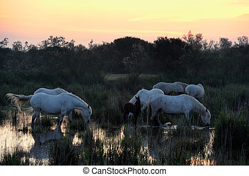 Camargue Horses in morninglight in a pond of water.
