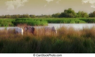 camargue horses - France. Camargue landscape with beautiful...