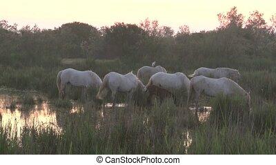 Camarque Horses