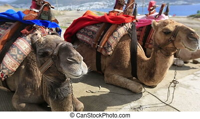 camel 1 - two Camel sitting