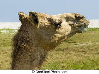 Camel at desert