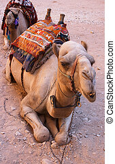 Camel at Petra - A camel awaiting tourists outside the...