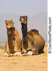Camel at the Pushkar Fair ( Pushkar Camel Mela ) Rajasthan,...
