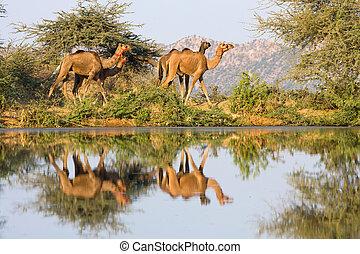 Camel at the Pushkar Fair ( Pushkar Camel Mela ) Rajasthan, India
