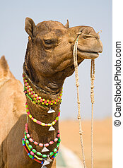 Camel at the Pushkar Fair, Rajasthan, India - Camel at the...