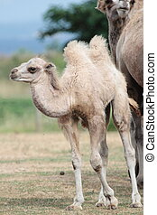 Camel baby calf standing on the ground next to his mother