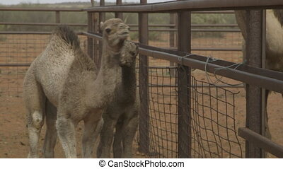 Camel calves in separate cage, Northern Territory - Close-up...
