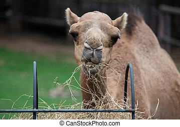 camel - Camel is eating hay