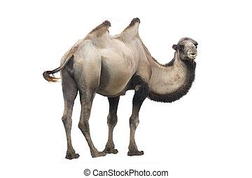 camel  (Camelus bactrianus) isolated on white background