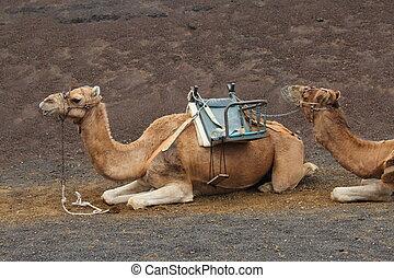 Camel (camelus dromedarius) - Camel
