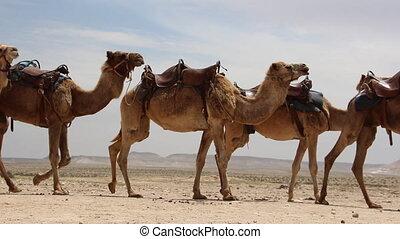 Camel caravan side view - Shot of Camel caravan side view