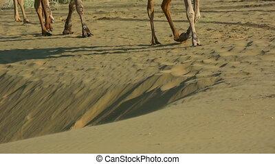 Camel caravan - Camels striding across the desert sand.